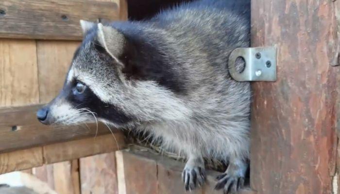 Собственное жилье появилось у енотов в барнаульском зоопарке