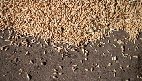 Засуха и нашествие мотылька: как аграрии Алтая пережили високосный сезон