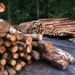 Бывшего главу алтайского лесничества обвиняют в незаконных рубках леса
