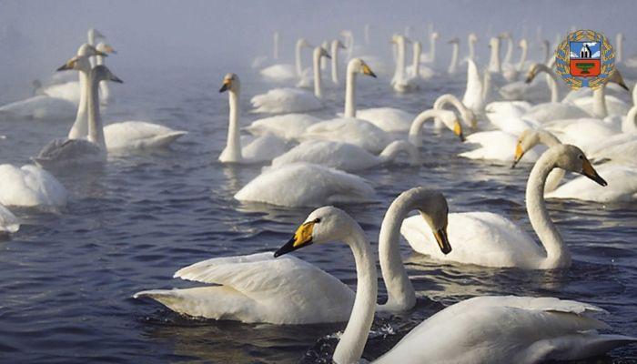 Лебеди на алтайском озере Светлом начали готовиться к зимовке