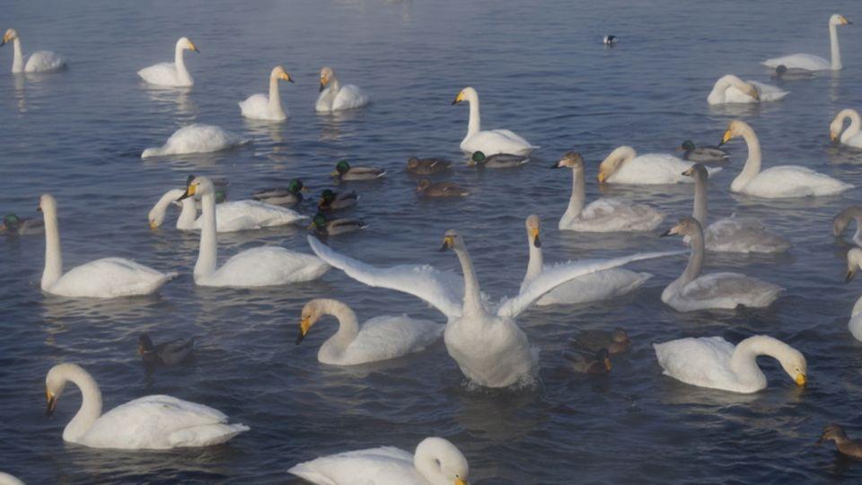 Более 300 лебедей прилетели на незамерзающее озеро в Алтайском крае