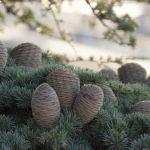 На Алтае приставили охрану к елкам и напомнили о штрафах за их сруб