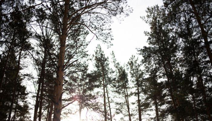 В барнаульском лесу у санатория Обь неизвестные повредили десятки сосен