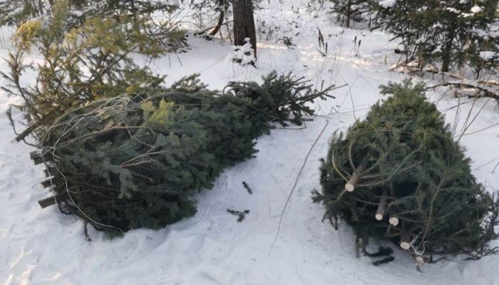 200 пихт вырубил к Новому году черный лесоруб на Алтае