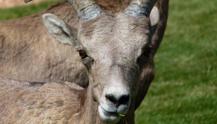 Рекордное количество горных баранов насчитали в Республике Алтай
