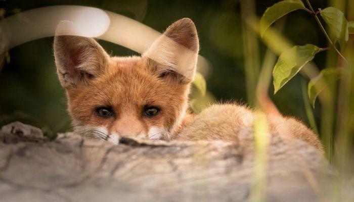 Наглые лисы захватили село в Смоленском районе на Алтае