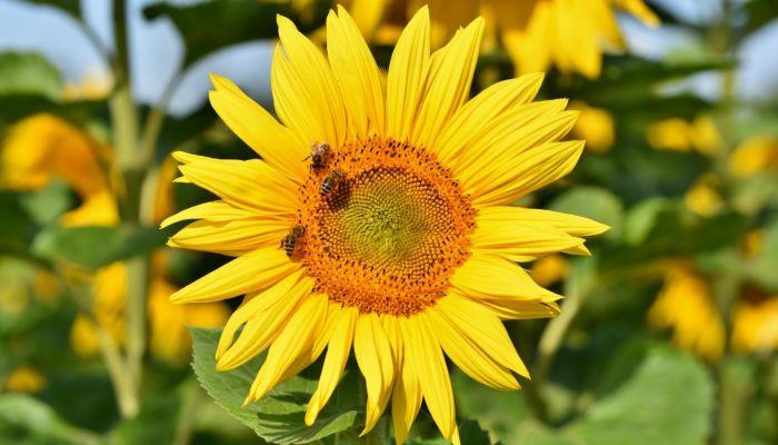 Алтайские пчеловоды будут узнавать об обработке полей через электронный сервис