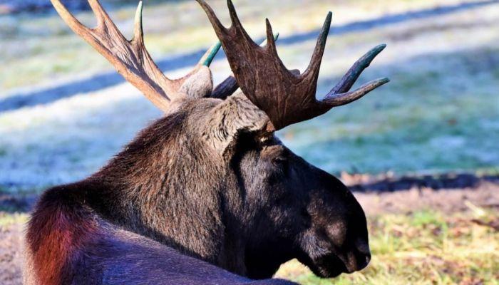 В Алтайском крае задержали браконьера, который застрелил беременную лосиху