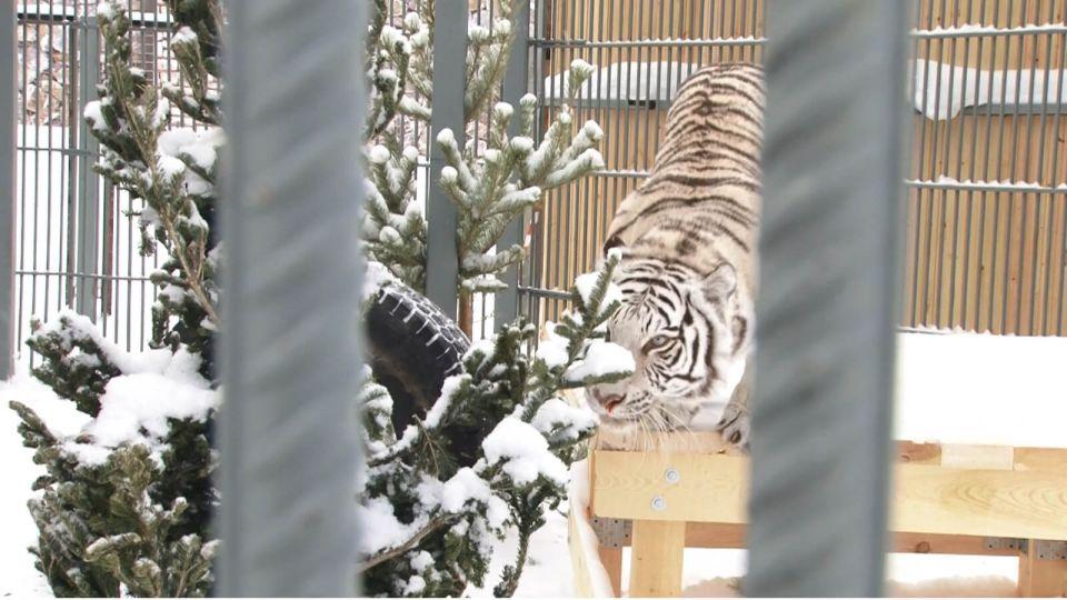 Полосатый рейс: зоопарк Барнаула принял тигров закрывшегося из-за пандемии цирка