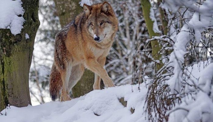 Бригаду охотников формируют после публикации видео с волком в Белокурихе