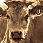 В Алтайском крае корова напала на семью с грудным ребенком