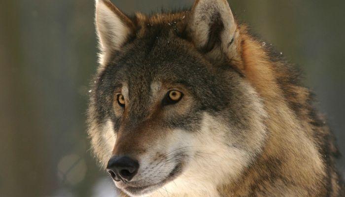 В краевом минприроды рассказали, что делать при встрече с волками