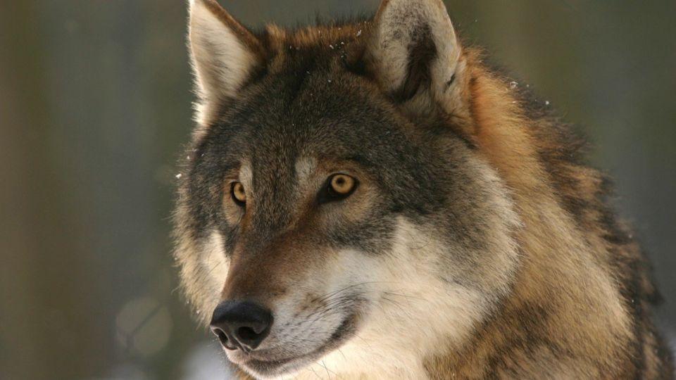 Волк. Животное