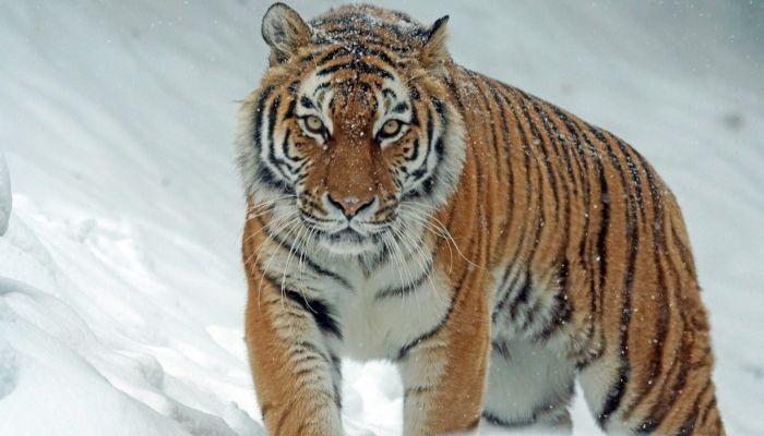 Тигр помог охотнадзору поймать двух браконьеров в Приморье