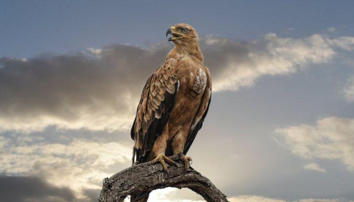 На Алтае соколам будут делать татуировки для защиты от браконьеров
