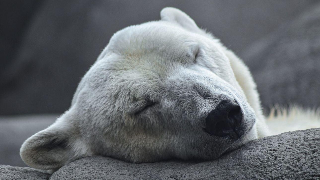 Когда в мире отмечают День полярного медведя и причем тут глобальное потепление