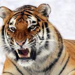 Поющим тигренком из Барнаула заинтересовались мировые СМИ
