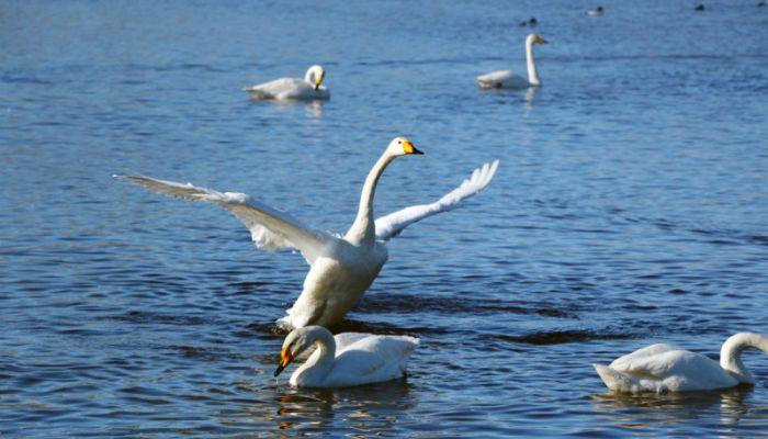 С приходом весны лебеди покидают озеро Светлое на Алтае