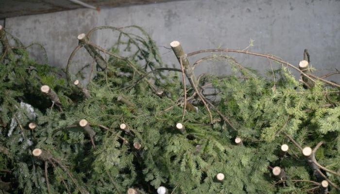 Вторая жизнь: холдинг Алтайлес переработал более 3,5 тыс. новогодних елок