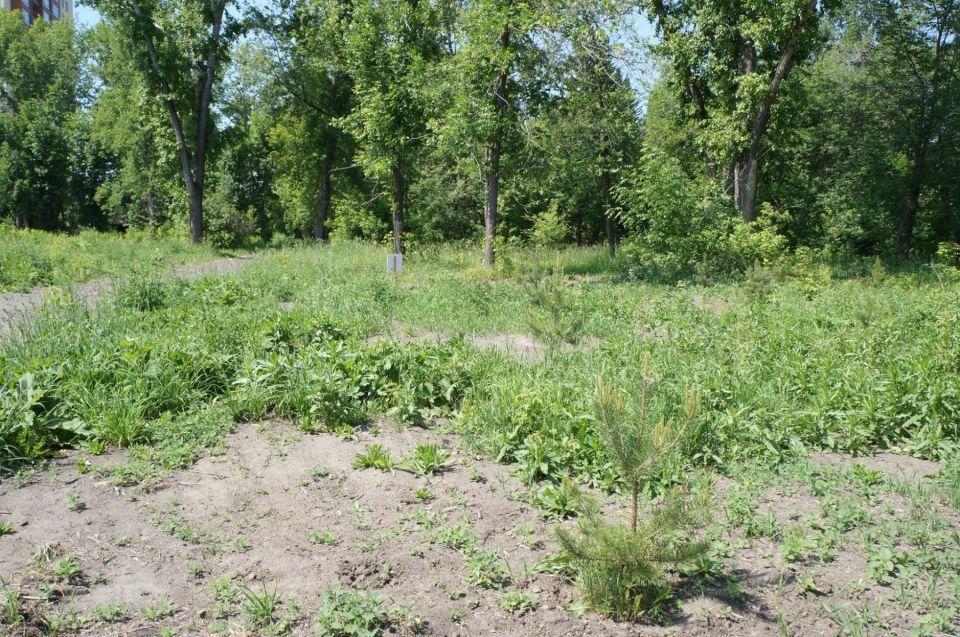 """Барнаульцев возмутили пожухшие деревья в парке """"Изумрудный"""""""