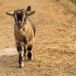 Зоопарк Барнаула открыл сезон родов кадрами новорожденных козлят