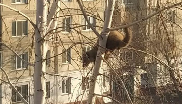Хорьки на деревьях: в Бийске заметили необычное явление