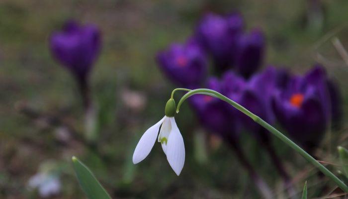День подснежника: занимательные факты о цветке - символе прихода весны