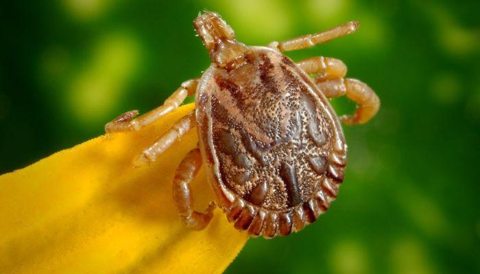 На Алтае зафиксирован первый случай заражения клещевой инфекцией