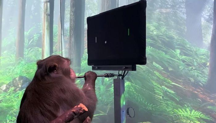 Компания Илона Маска научила макаку мысленно играть в пинг-понг