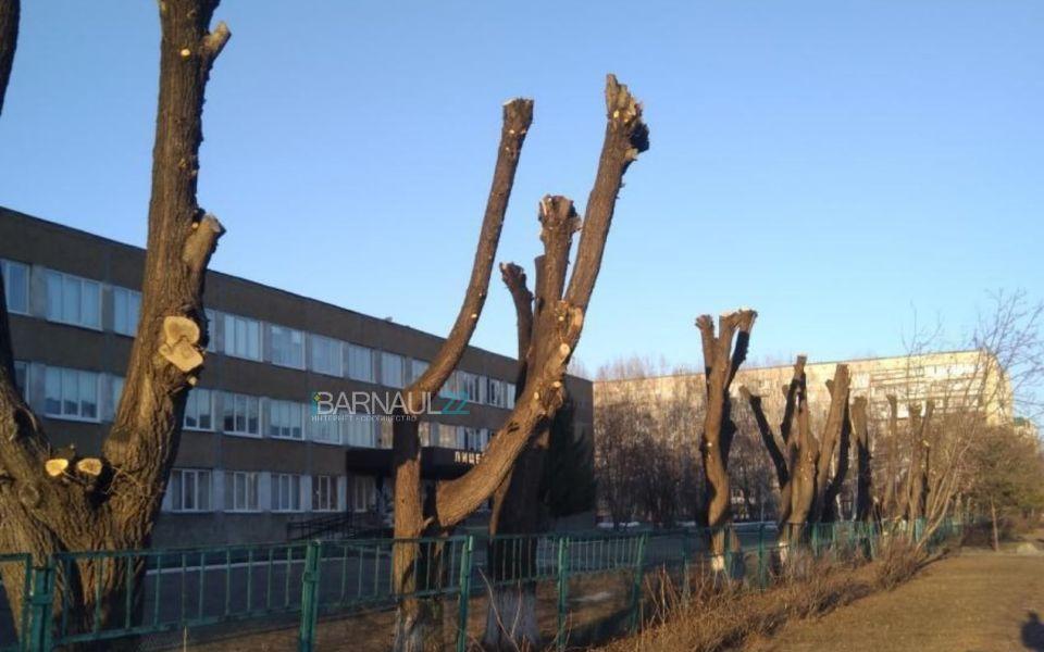 Барнаульцы возмущены варварской обработкой деревьев возле школы