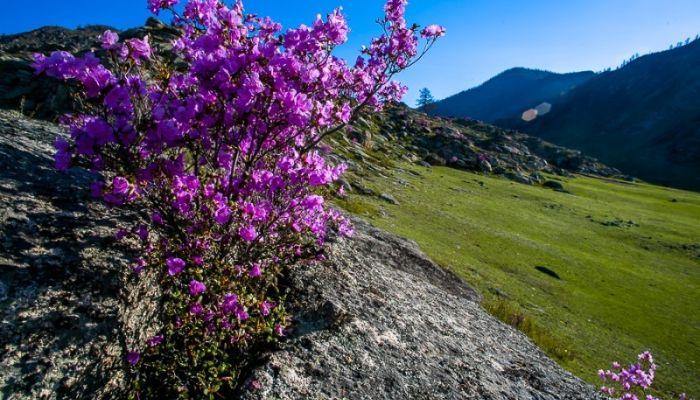 В Алтайском крае после перерыва состоится праздник Цветение маральника
