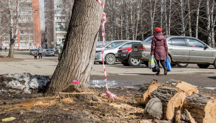 Место гибели барнаульца от упавшего дерева продолжает угрожать горожанам