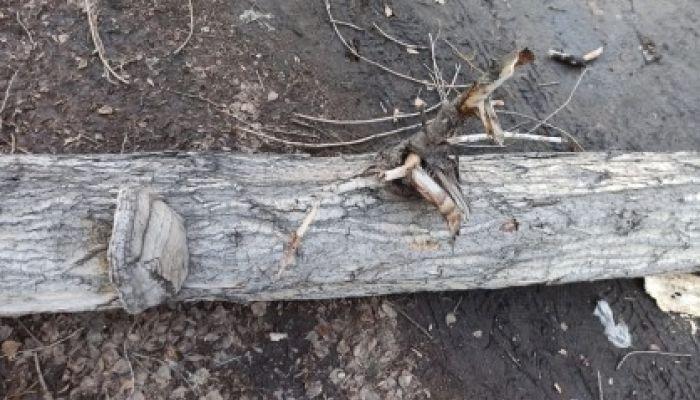 Следователи возбудили дело после падения дерева на барнаульца