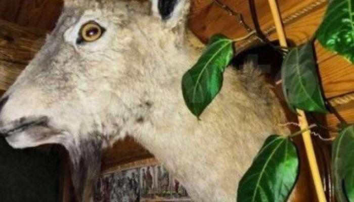 В Бийске продают чучело козерога за 45 тыс. рублей