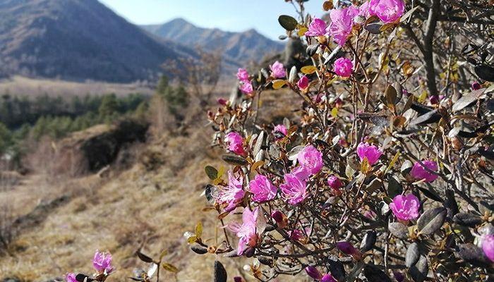 На Алтае зацвел маральник и появились первые цветы