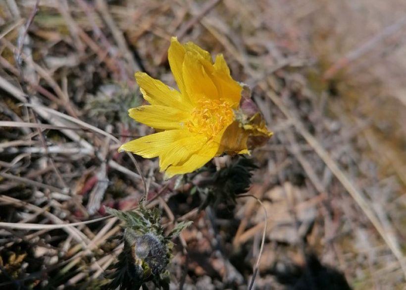 Первые цветы на Алтае Фото:gorno-altaisk.info