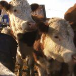 Спецрепортаж: как ветеринары следят за здоровьем животных в Алтайском крае