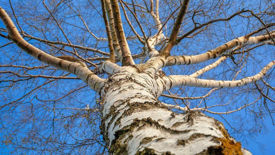 Береза. Дерево. Природа