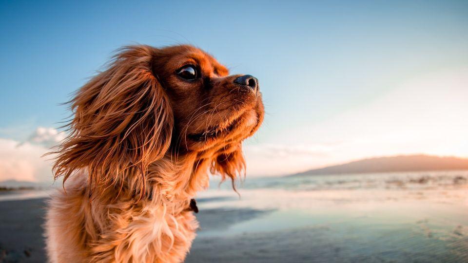 Собака. Лето. Ветер