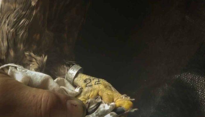 Алтайским балобанам набили тату для защиты от браконьеров
