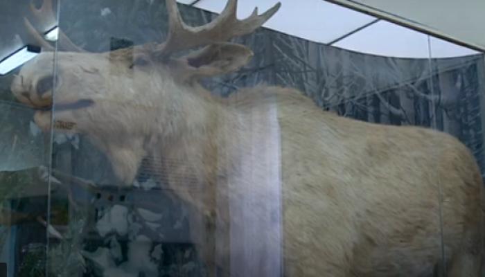 Беляш и Саша Белый: на Алтае выбирают имя лосю из Краеведческого музея