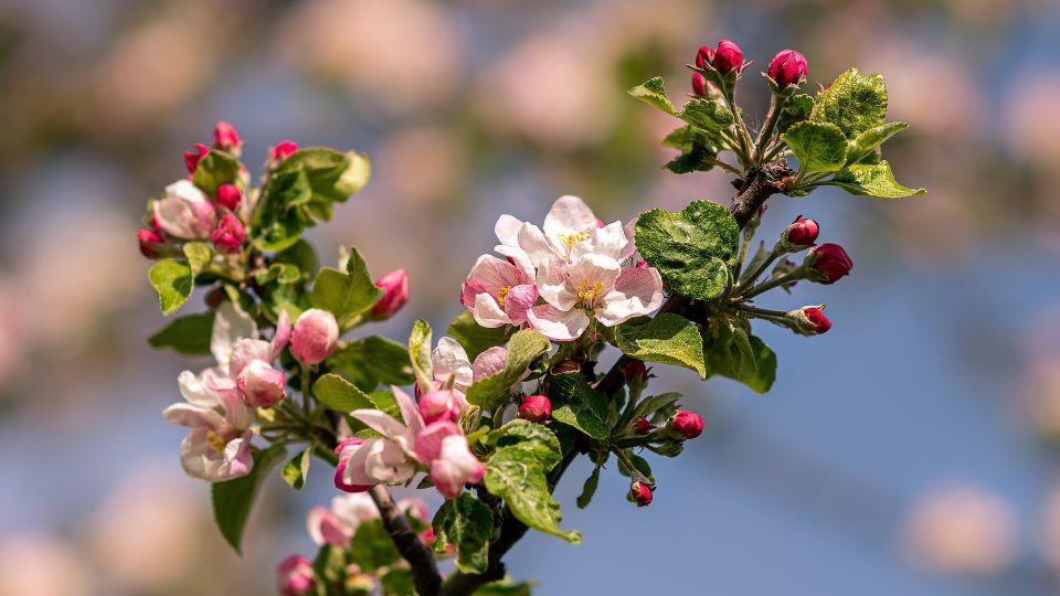 Яблоня. Весна