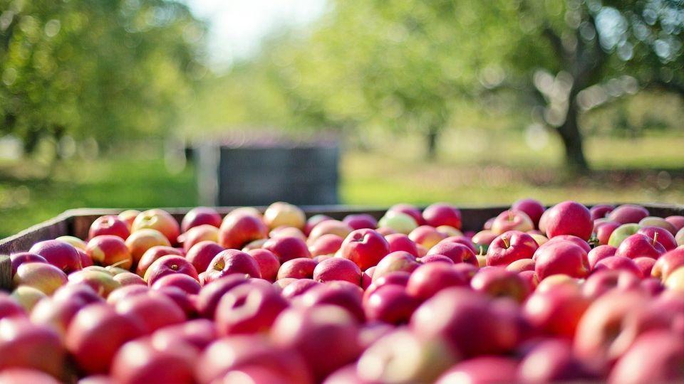 Яблоки. Сад