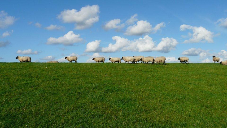Овцы. Стадо